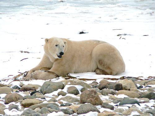 Male bear1