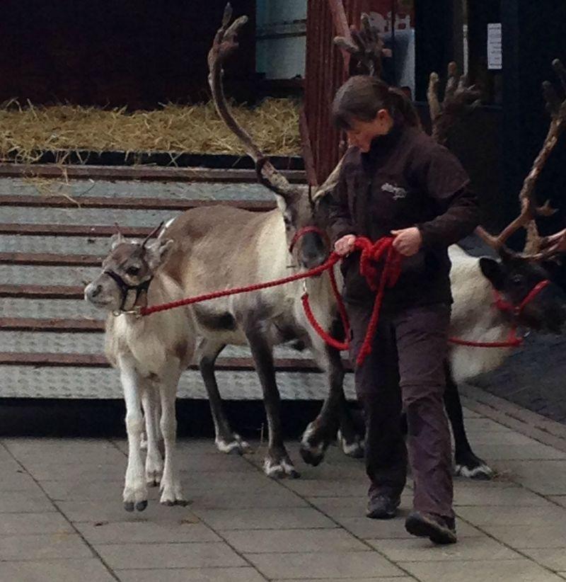 _reindeer6