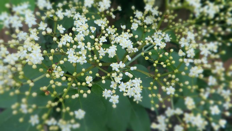 Elderflowers2