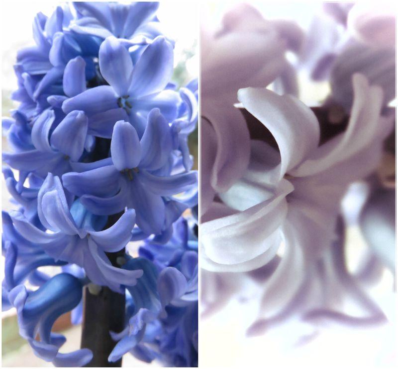 Hyacinths3