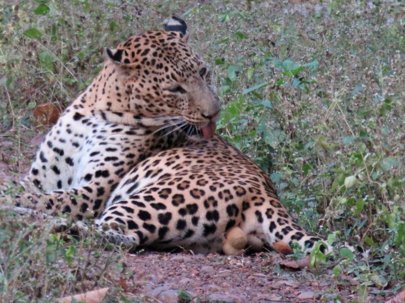 Leopard11