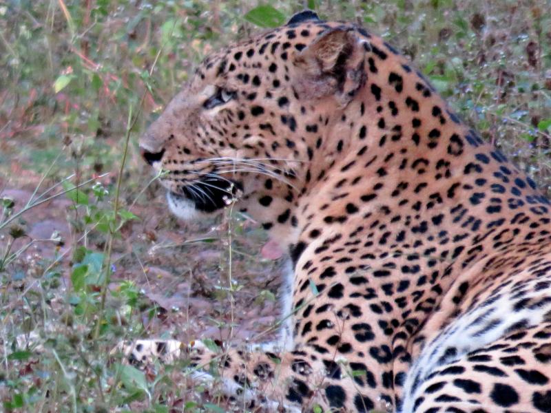 Leopard14