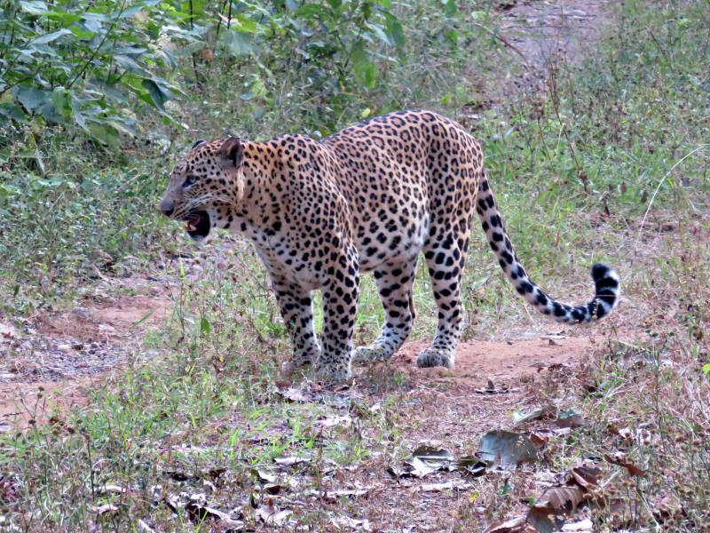 Leopard15